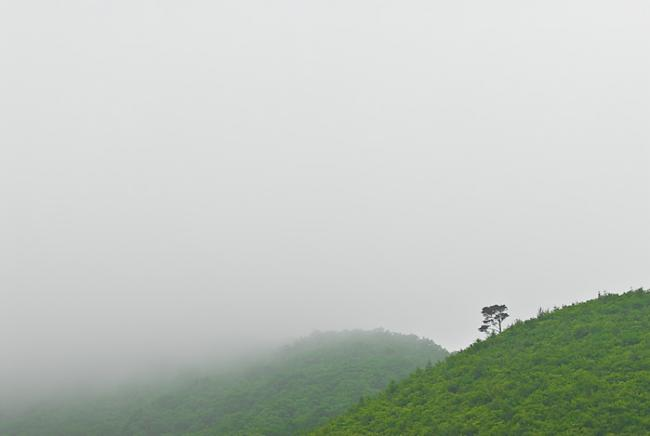 A solitary tree on a green hill a foggy day