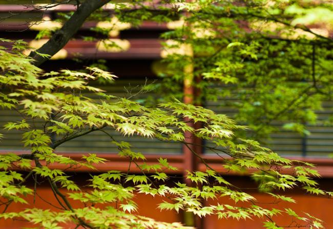 Maple leaves, Japan