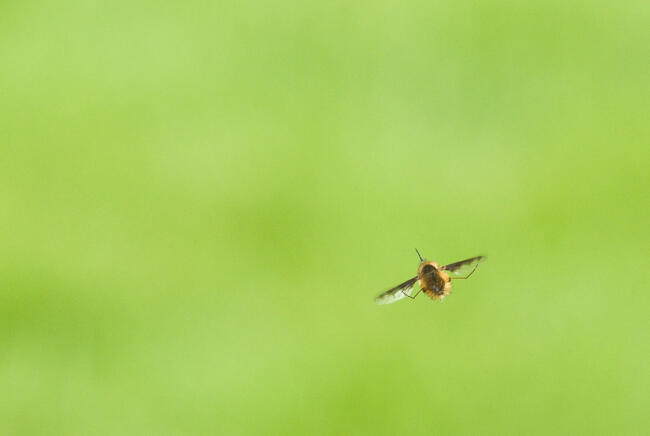 Greate Bee Fly in flight