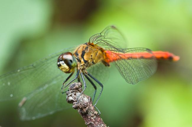 Dragonfly with red body and green background