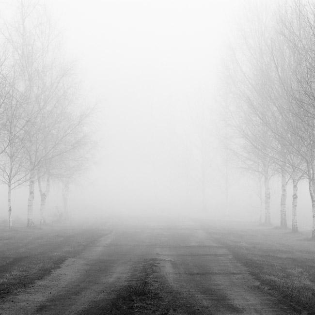 Birch trees and road in fog