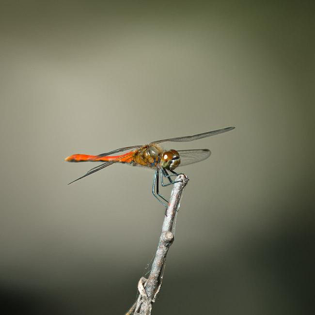 Dragonfly with red body, Korea