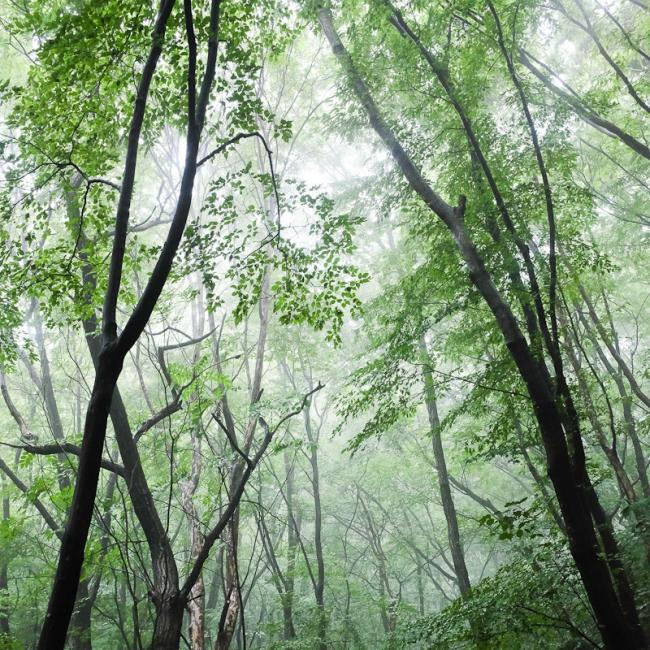 Canopy of humid forest, Korea