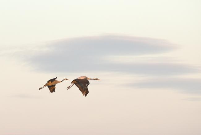 Cranes at Hornborga Lake