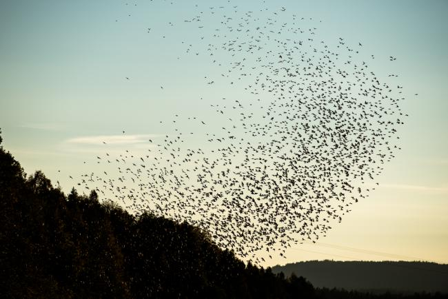 Flock of swarming birds (brambling/bjørkefink) at dusk