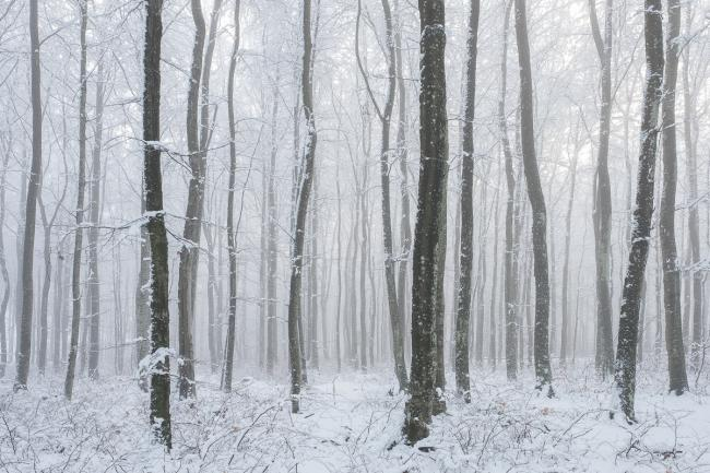 Beech forest in winter fog (bøkeskog, Vestfold)