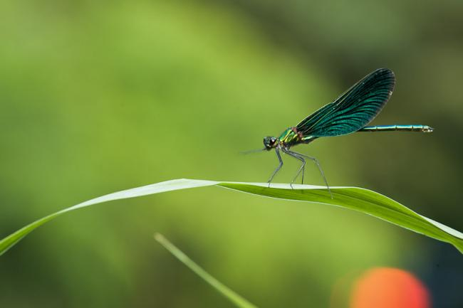 Green damselfly, green background and orange spot